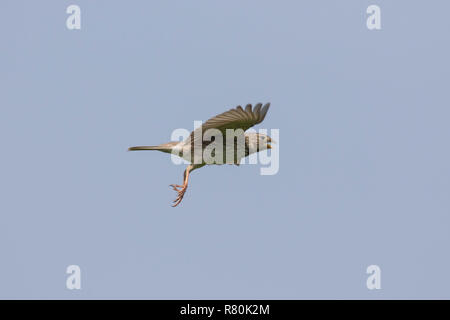 Corn Bunting (Emberiza calandra, Miliaria calandra). Adult in flight. Germany - Stock Photo