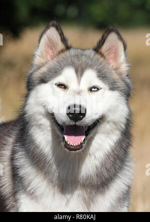 Siberian Husky x Malamute. Portrait of male (2 years old),. Germany - Stock Photo