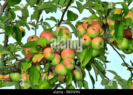 Common Crab Apple, Wild Crab Apple (Malus sylvestris). Ripe apples on a tree. Germany - Stock Photo