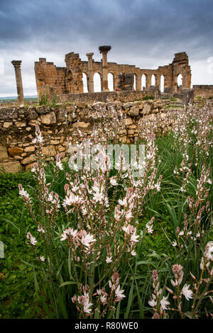 Morocco, Meknes, Volubilis Roman site, wild  flowers before Basilica and pillars of the Capitol - Stock Photo
