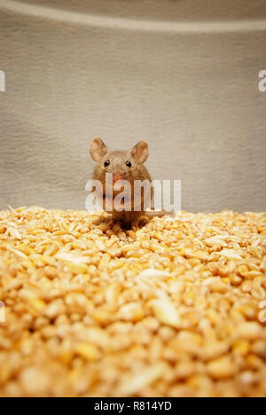 House mouse (Mus musculus) sitting on wheat grains, looks scared, Germany - Stock Photo