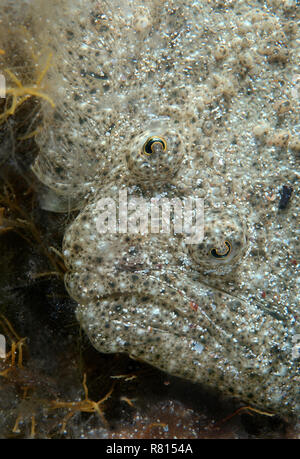 Black-Sea Turbot, Kalkan (Psetta maetica, Scophthalmus maeoticus), Black Sea, Crimea, Crimea, Ukraine - Stock Photo