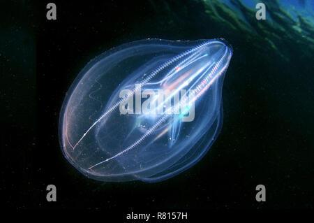 Warty Comb Jelly or Sea Walnut (Mnemiopsis leidyi), Black Sea, Crimea, Ukraine - Stock Photo