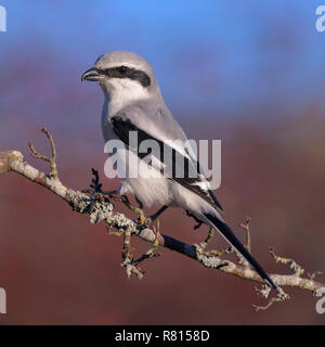 Great Grey Shrike (Lanius excubitor), on the branch of Hawthorn (Crataegus), biosphere area Swabian Alb, Baden-Württemberg - Stock Photo
