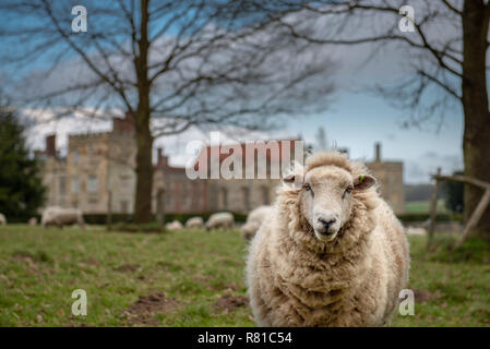 White sheep looking at the camera with the rest of the sheep from her flock in the background. Taken in Kent, UK. - Stock Photo