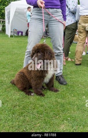 Seated brown Newfoundland puppy, held on a lead by female owner, UK - Stock Photo