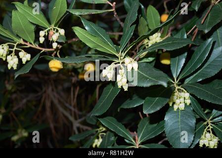 Arbutus unedo - Stock Photo