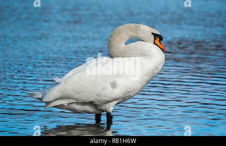 Side View of a beautiful white Swan (Cygnus atratus) standing in a Lake - Stock Photo