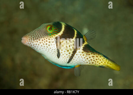 Valentins Sharpnose Puffer (Canthigaster valentini) in Celebes Sea. Bunaken National Park, North Sulawesi, Indonesia - Stock Photo