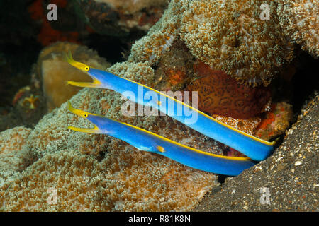 Ribbon Eel, Ribbon Moray (Rhinomuraena quaesita). Two adult males looking out from a hole in a coral reef. Bali Sea, Bali, Indonesia - Stock Photo