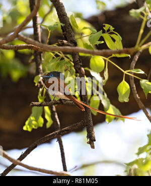 African Paradise Flycatcher (Terpsiphone viridis) perched on a branch - Stock Photo