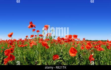 Idyllic panoramic landscape, field full of beautiful red poppies, blue sky in the background - Stock Photo