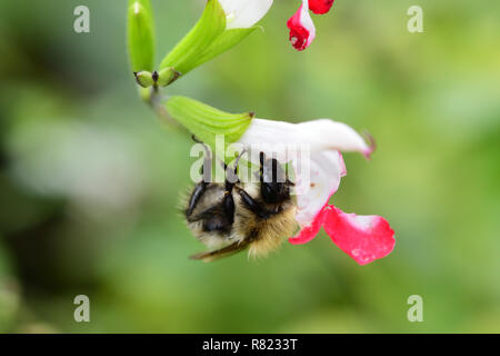 Macro shot of a bee pollinating a red and white salvia flower - Stock Photo