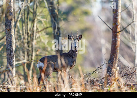 Roe deer standing and watching in the forest - Stock Photo