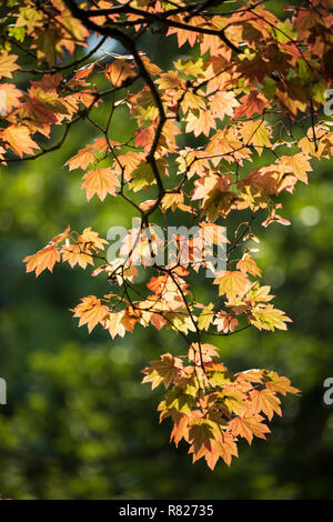 Maple tree leaves backlit in autumn colours, England, UK - Stock Photo