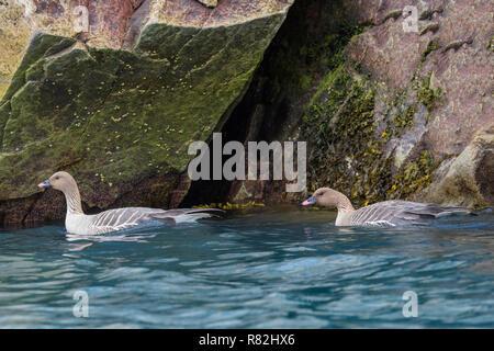Pink-footed geese (Anser brachyrhynchus) swimming in the water, Monaco glacier, Liefdefjorden, Haakon VII Land, Spitsbergen Island, Svalbard Archipela