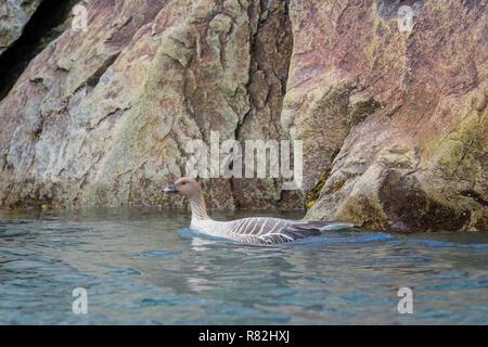 Pink-footed goose (Anser brachyrhynchus) swimming in the water, Monaco glacier, Liefdefjorden, Haakon VII Land, Spitsbergen Island, Svalbard Archipela