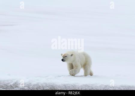Yearling polar bear cub (Ursus maritimus) walking on the ridge of a glacier, Björnsundet, Hinlopen Strait, Spitsbergen Island, Svalbard Archipelago, N - Stock Photo