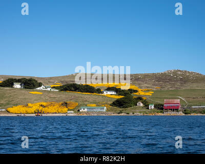 United Kingdom, Falkland Islands, West Falkland, West Point Island. Coastal countryside view with blooming yellow gorse. - Stock Photo