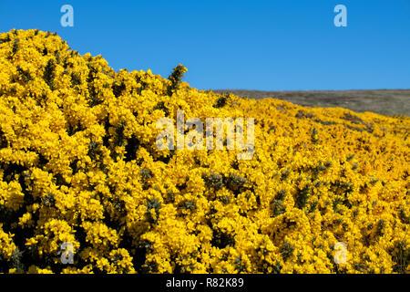 United Kingdom, Falkland Islands, West Falkland, West Point Island. Blooming yellow gorse flora. - Stock Photo