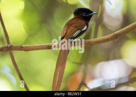 Red-bellied Paradise Flycatcher (Terpsiphone rufiventer) - Stock Photo