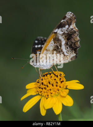 Texan Crescent, Anthanassa texana, nectaring from Skeleton-Leaf Goldeneye, Viguiera stenoloba - Stock Photo