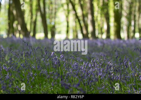 A shallow depth of field shot of Bluebells growing in a shaded woodland in Spring - Stock Photo