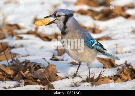 Blue jay (Cyanocitta cristata) found a peanut in the snow, Iowa, USA - Stock Photo