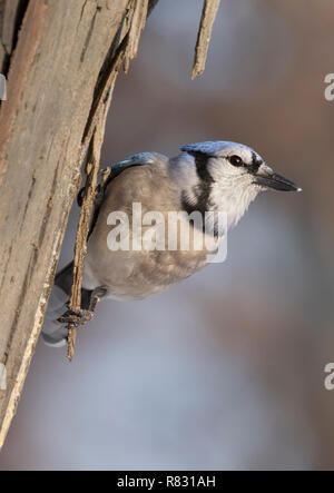Blue jay (Cyanocitta cristata) searchingfor food at Ledges State Park, Iowa, USA - Stock Photo