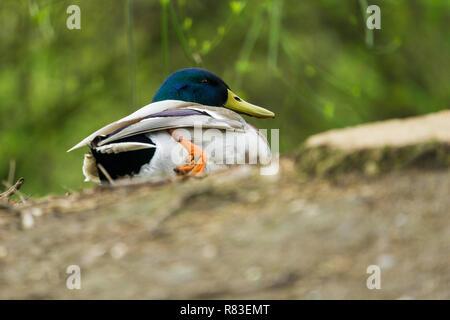 Close-up of a Mallard Duck (Anas platyrhynchos) at the Lake. - Stock Photo