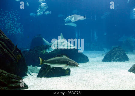Lisboa, Portugal - March 3, 2014: Shark and other tropical fish from Lisbon Oceanarium - Stock Photo