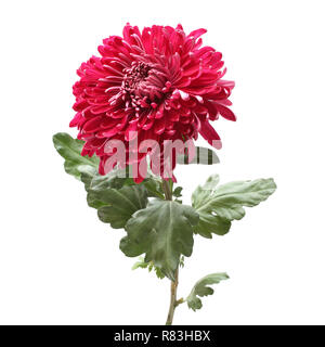 Big magenta chrysanthemum flower isolated on white background - Stock Photo