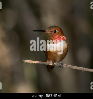 Male Rufous Hummingbird Perched on a Twig - Stock Photo
