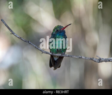 Broad-billed Male Humminbird perched on a Twig framed by a Curtain of Light - Stock Photo