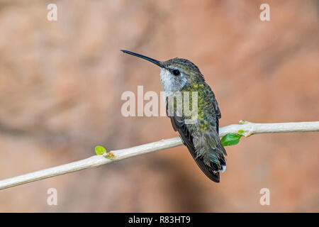 Female Hummingbird Perched on a Branch with two new Leaves Emerging - Stock Photo