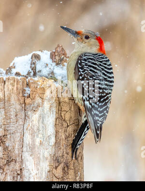 Wild female Red-bellied Woodpecker (Melanerpes carolinus) perched on a stump in winter with snow falling around her. - Stock Photo