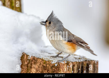 Tufted Titmouse (Baeolophus bicolor) perched on a snowy stump in winter. - Stock Photo