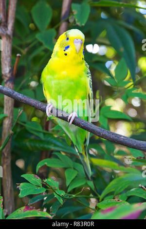 Beautiful Australian Budgerigar (Melopsittacus undulatus), also known as Budgie or Parakeet, in captivity. - Stock Photo