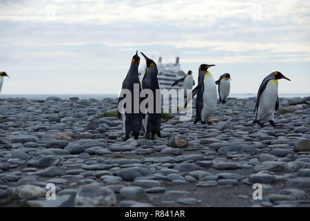 Saint Andrews Bay, South Georgia Island, March 2018: A group of King Penguins on a pebble beach on the island of South Georgia with a cruise ship in t - Stock Photo