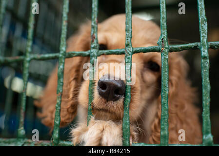Cocker spaniel puppy in a cage, waiting for his next owner behind bars. Dogs for sale in a pet shop of Cartagena de Indias, Colombia, South America - Stock Photo