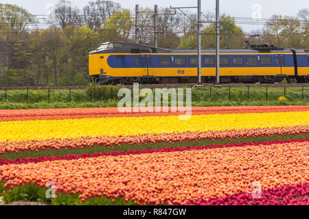 Zuid Holland, the Netherlands - 23 April 2017: Dutch electric train passing through typical Dutch spring flower fields - Stock Photo