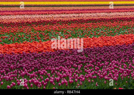 vibrant color tulip field in Netherlands - Stock Photo