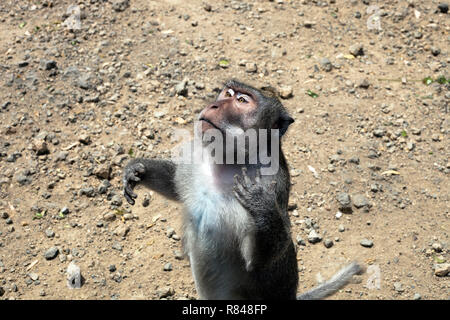 Monkey praying. Funny crab eating macaque (macaca fascicularis) begging - Stock Photo