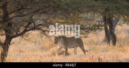 Female lion walking early in the morning - Stock Photo