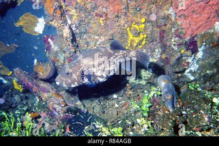 Puffer Fish, Bunaken National Park, Northern Sulawesi, Indonesia. - Stock Photo