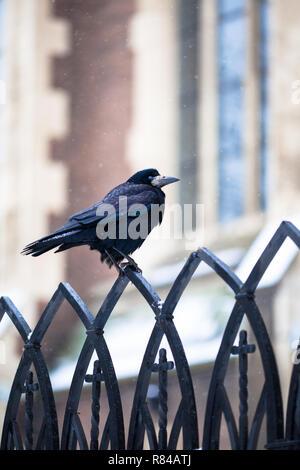 Black Crow Sitting On A Metal Fence. Winter crow. Snow falls - Stock Photo