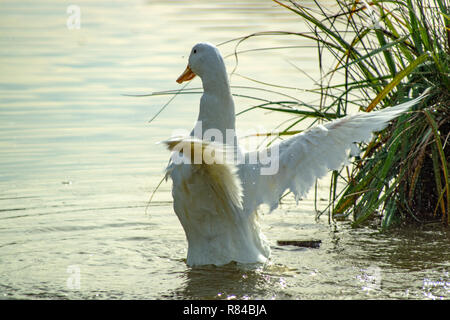 White Pekin (peking) ducks with white feathers and yellow bills in Group Flock, Brace or Raft - Stock Photo