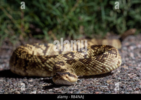 Western Black-tailed Rattlesnake, (Crotalus molossus), Cave Creek Canyon, Chiricahua mountains, Arizona, USA. - Stock Photo