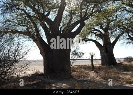 Baines baobab from Nxai Pan National Park, Botswana - Stock Photo