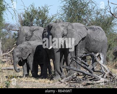 small elephant group in the dry okavango delta, Botswana - Stock Photo